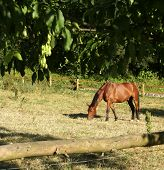 Horse in Denmark eating and relaxing in the sun poster