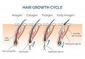 Hair growth cycle. Hair cycle, science phase hair, human hair growth. Vector illustration poster