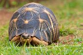 The radiated tortoise endemic turtle from south of Madagascar poster