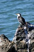 cormorant seabird on rock with water in background poster