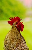 traditional breed rooster singing in a green natural background poster