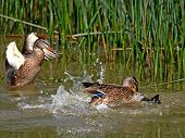 The small local conflict in duck family during a dinner. poster
