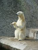 Polar bear begging for bread in zoo poster