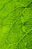 Close up detail of a green leaf. poster
