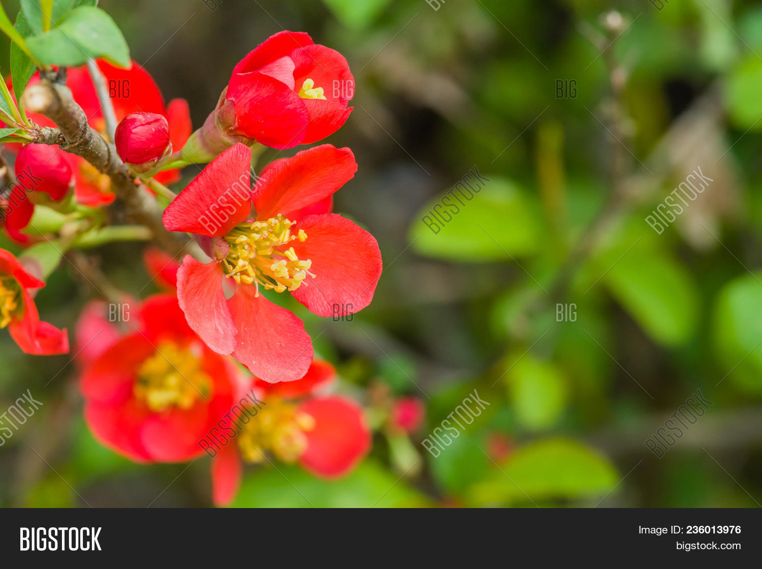 Closeup camellia image photo free trial bigstock closeup of camellia japonica flower small red flower with yellow stamen with natural blurred backgr mightylinksfo