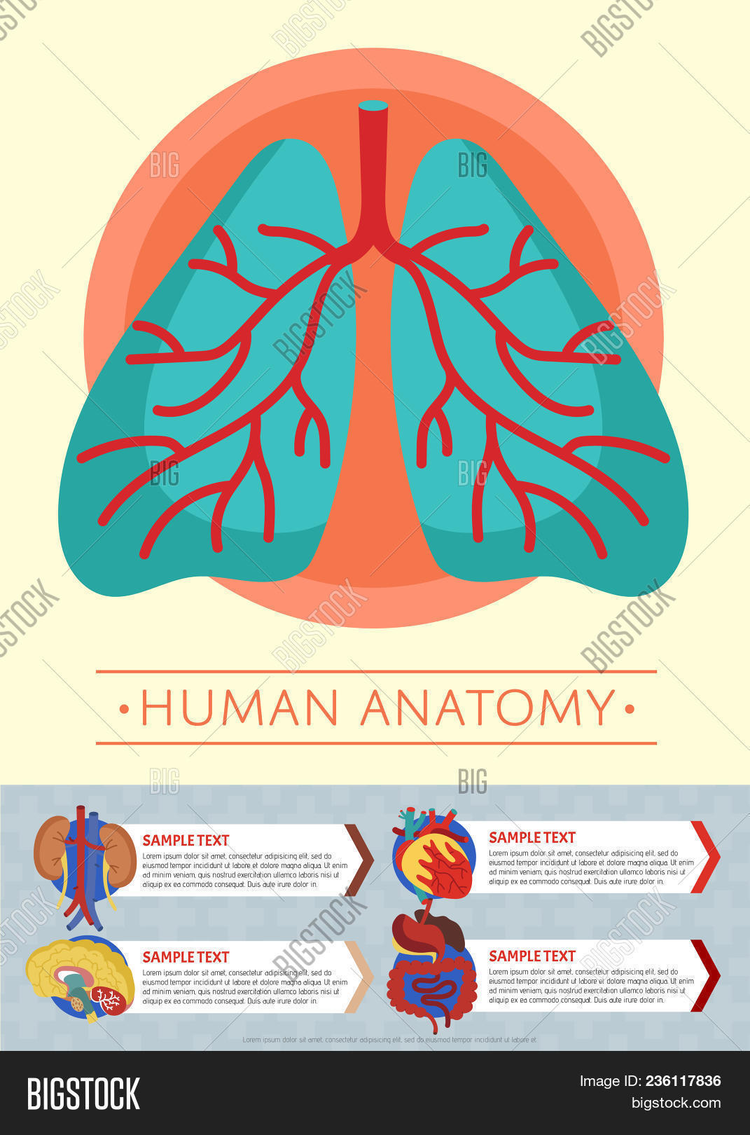 Human Anatomy Medical Image & Photo (Free Trial) | Bigstock