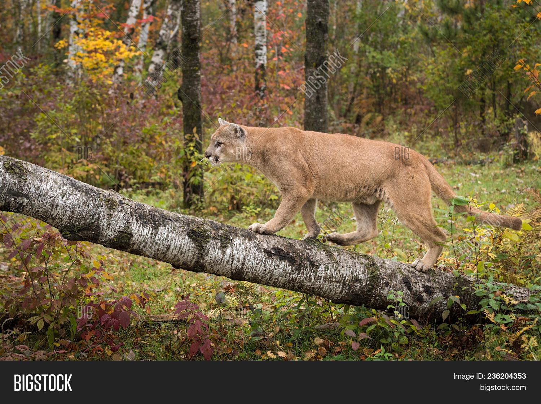 7155b1ec7f132 Adult Male Cougar (puma Concolor) Walks Up Birch Branch - Captive Animal
