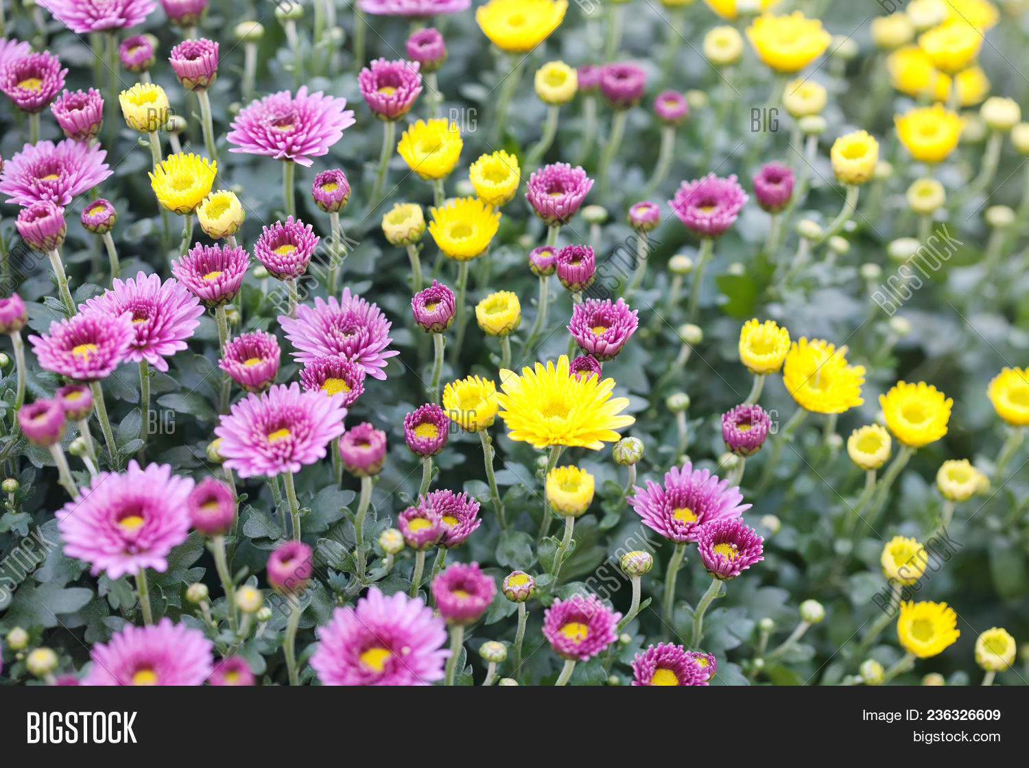Violet Pink Yellow Image Photo Free Trial Bigstock