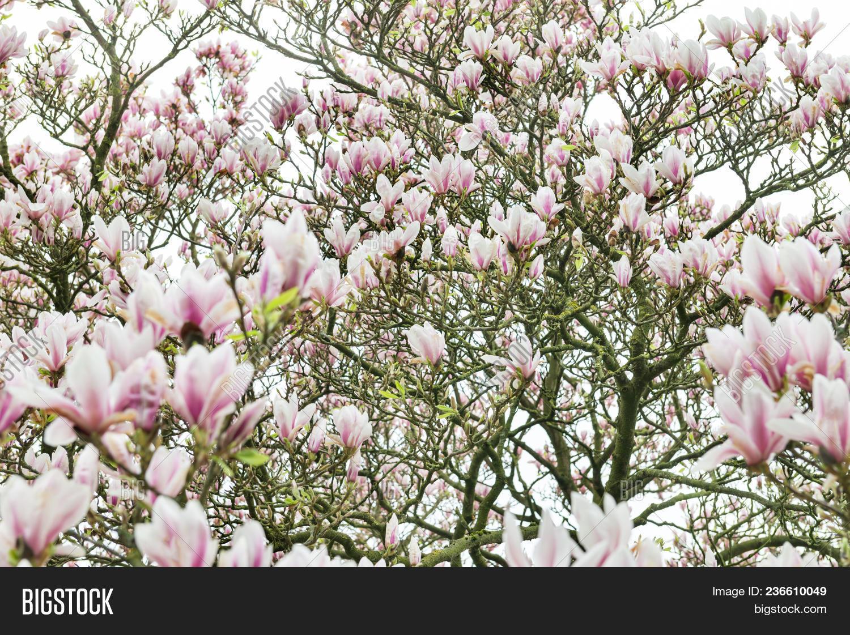 Pink Magnolia Tree Image Photo Free Trial Bigstock