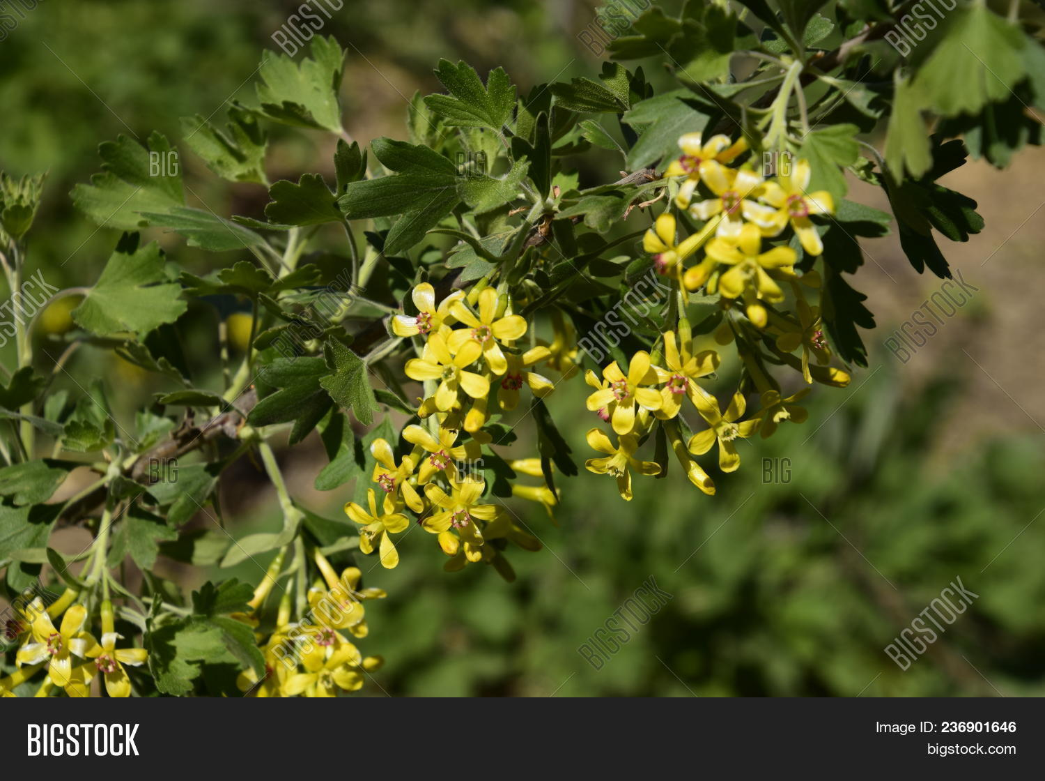 Flowering Currant Bush Image Photo Free Trial Bigstock