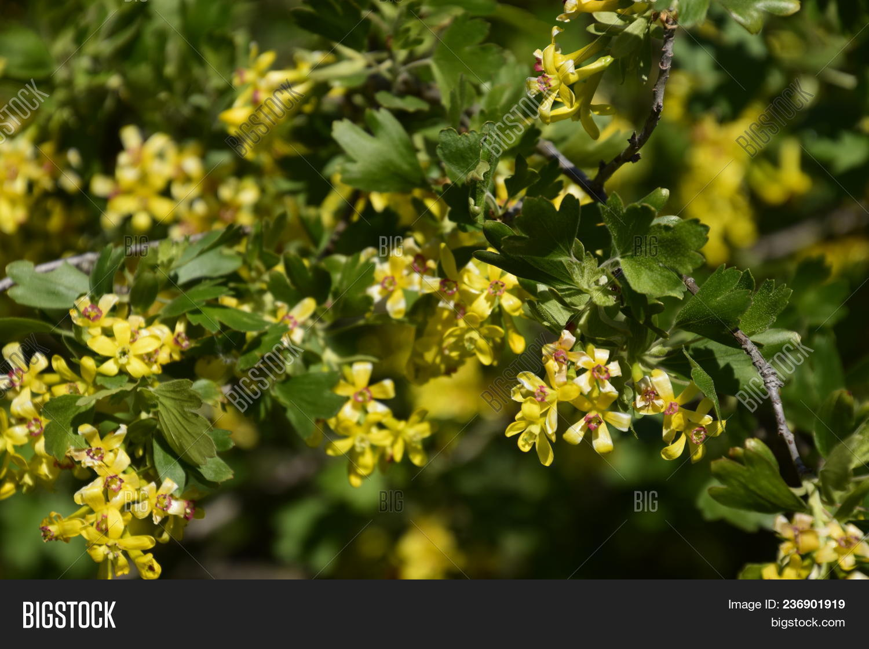 Flowering Currant Bush Image Photo Free Trial Bigstock