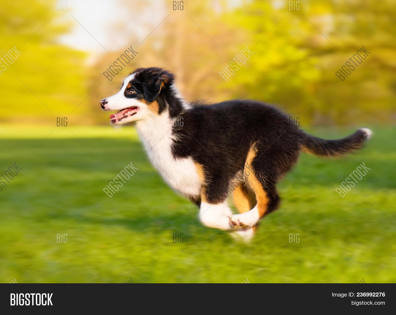 Happy Aussie Dog Runs Image Photo Free Trial Bigstock