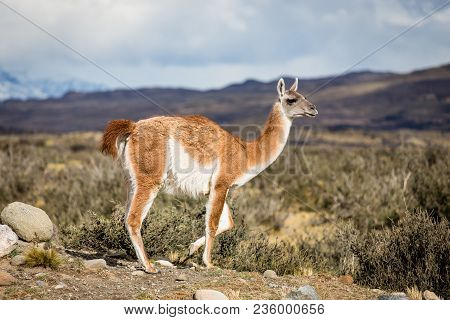 Guanaco, Lama Guanicoe, Admiring The Andes. Torres Del Paine National Park, Patagonia, Chile