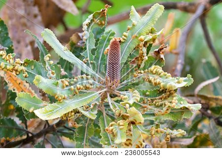 Flower buds of Firewood banksia (Banksia menziesii) with many galls in Perth, Western Australia.