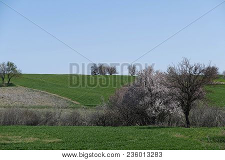 Wheat Agriculture And Cultivated Wheat Fields,wheat Fields Landscapes, Agricultural Pictures,