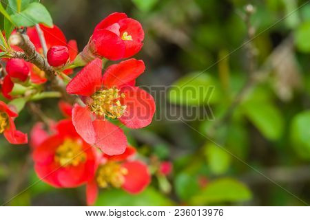 Closeup Of Camellia Japonica Flower. Small Red Flower With Yellow Stamen With Natural Blurred Backgr