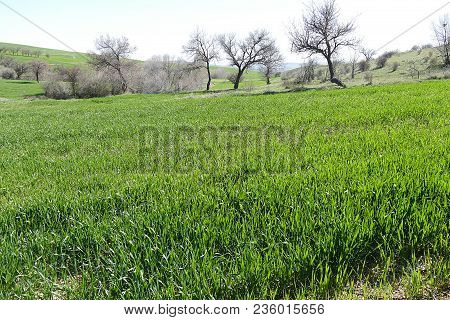 Spring Months And Fields Of Green Wheat Cultivated, Wheat Agriculture And Cultivated Wheat Fields,