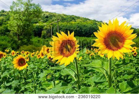 Sunflower Field In The Mountains. Lovely Agricultural Background. Fine Sunny Weather With Some Cloud