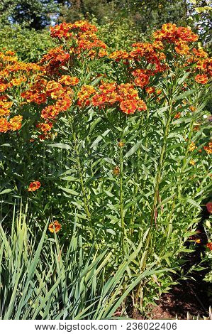 Gaillardia, Common Name Blanket Flower Is A Flowering Plants In The Sunflower Family, Native To Nort