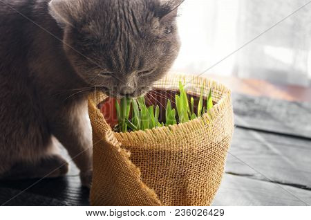 Beautiful Cat With Feline Grass.  Natural Vitamins. Care For Pets.