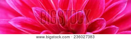 Close Up Of Beautiful Pink Dahlia Flower