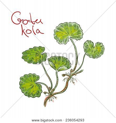 Centella Asiatica, Commonly Known As Centella, Asiatic Pennywort Or Indian Pennywort Or Gotu Kola. V
