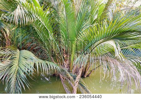Palm Trees On The Water In Garden.(nypa,atap Palm,nipa Palm, Mangrove Palm)