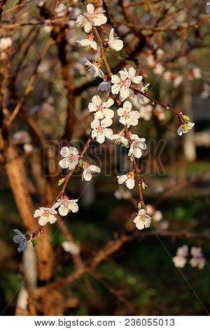 Beautiful Nature Scene With Blooming Tree. Spring Flowers. Beautiful Orchard. Apricot Tree Flowers.