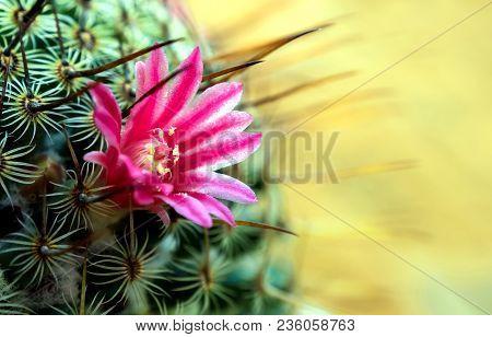 Blooming Cactus Flowers As Pink Beautiful Flowers