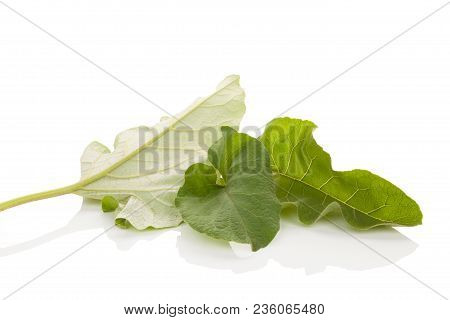 Healthy Burdock Plant Leaves  Isolated On White Background. Medicinical Plant.