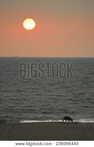 A Black, Very Thin Stray Dog Walks On The Beach, Looks Frustrated And Hungry. It`s Going To Be Sunse