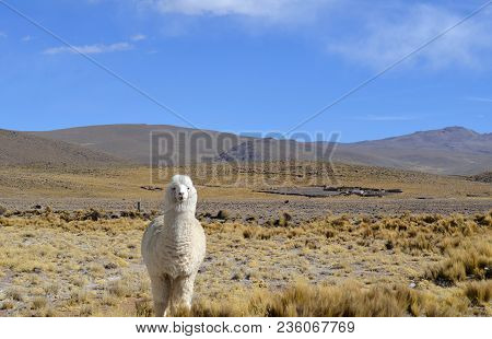 Alpaca Llama In Andes Mountains, Peru, South America