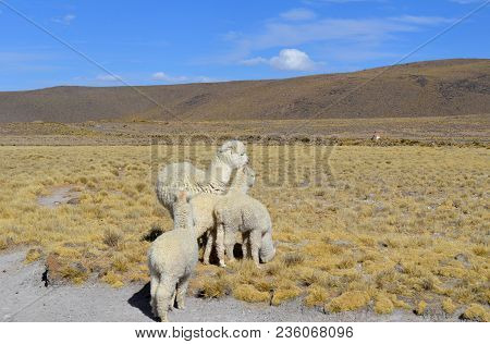 Family Alpaca Llama In Andes Mountains, Peru, South America