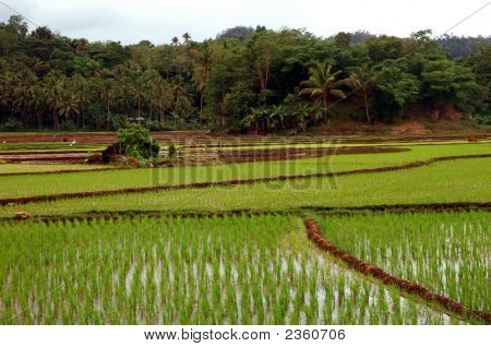 A Large Rice Field In The Philippines