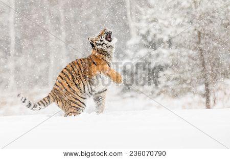 Siberian Tiger Jump In Snow In A Winter Taiga. Tiger In Wild Winter Nature. Danger Animal. Siberian