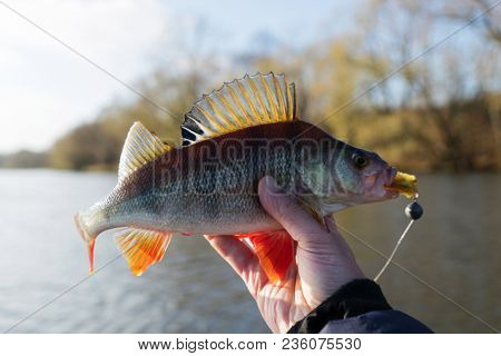 Common perch in fisherman's hand, soft focus, toned, dreamy