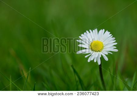 Close-up Of A Beautiful White Daisy Flower On A Green Meadow In Spring. View To A Beautiful Little D