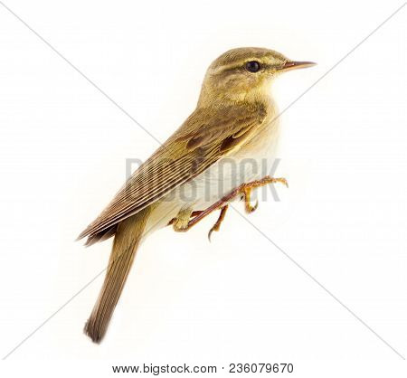 robin (Erithacus rubecola), little bird with sings at dusk, nests in dense, old forests,forest birds - white background poster