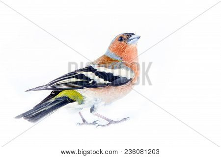 Chaffinch (fringilla Coelebs) Most Common Bird Of Europe, Forest Bird, Finches, Thick Beak, Granivor
