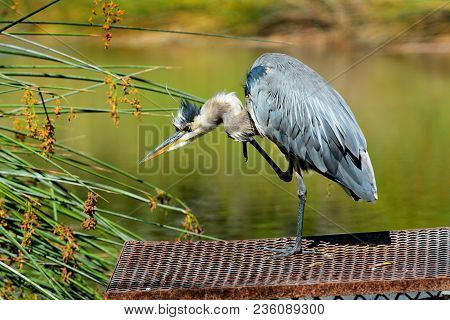 A Great Blue Heron (ardea Herodias) Standing On A Man Made Grate In The Middle Of A Marsh. The Bird