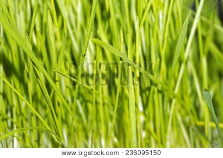 Background - Young Bright Green Tender Spring Grass, Wheat Germs