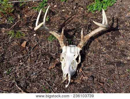 A Whitetail Deer Skull And Antlers On A Forest Floor.