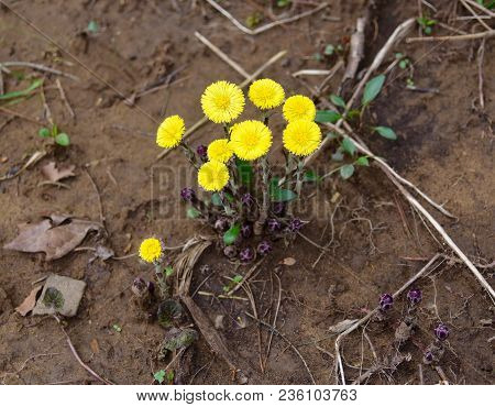 A Small Cluster Of Bright Yellow Coltsfoot Flowers Emerging In A Spring Forest.