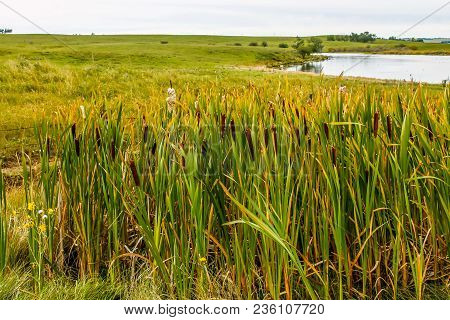 Bull Rushes And Roadside Pond, Kneehill County, Alberta, Canada
