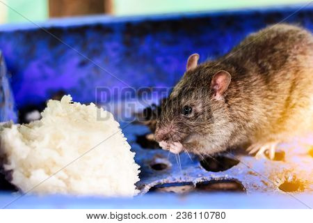 Mouse or mice in blu basket is eating rice. poster