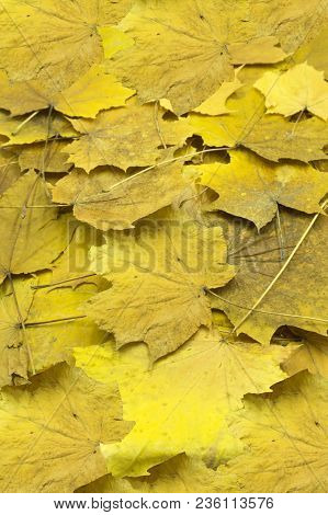 Thin Dry Maple Seeds And Yellowed Foliage During The Fall Foliage, Closeup In Nature