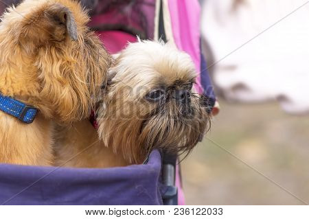 Two Griffon Dogs Are Peeking Out Of A Pram, Decorative Breeds Of Dogs, Bred In Belgium Close-up. Con