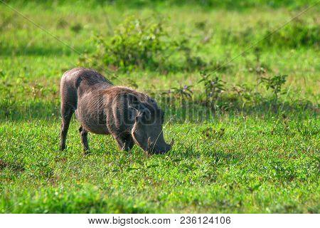 Grazin warthog or Phacochoerus africanus in Ngorongoro national park in Tanzania poster