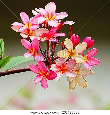 Beautiful Multi Color Plumeria On Tree Garden Green Leaf Natura