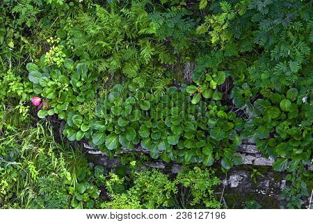 Gren Bergenia And Fern On The Stones